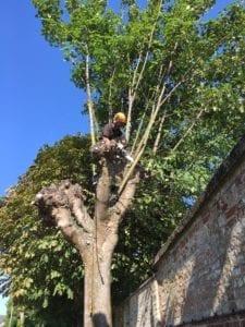 Re-pollarding of tree